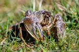 Crayfish in grass