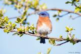Bluebird at rest