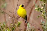 Resting Goldfinch