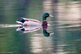 Duck reflected