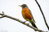 Robin, gray sky