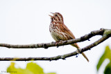Singing from a branch