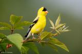 Alert Goldfinch