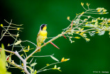 Yellowthroat singing