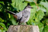 Catbird on post