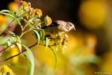 Goldfinch in sun