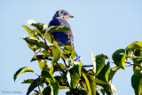 Bluebird, blue sky