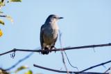Catbird on blue