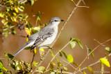 Mockingbird and leaves