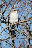 Mockingbird, berries
