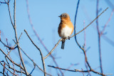 Bluebird on blue