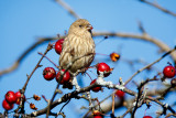 Finch and berries