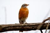 Robin on gray