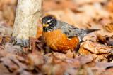 Robin in leaves