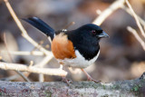 Towhee in forest