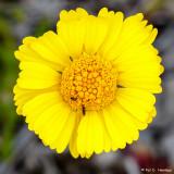 Lakeside daisy