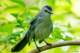 Catbird on green
