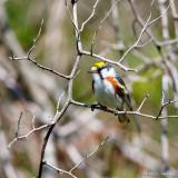 Warbler in sun
