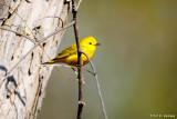 Bright warbler
