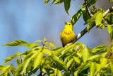 Singing warbler