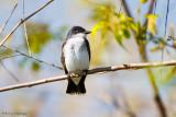 Kingbird on branch