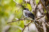 Kingbird and branches