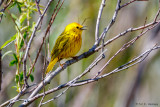 Warbler and branches