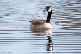 Goose and ripples