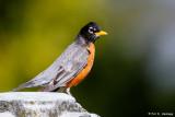 Robin on stone