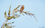 Singing in a pine