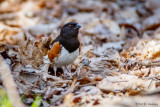 Towhee and leaves