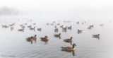 Geese and fog