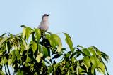 Noisy catbird