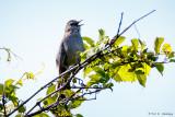 Catbird calling