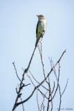 High flycatcher
