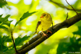 Goldfinch in shade