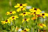 Flowering coneflowers