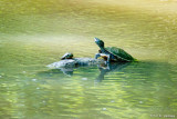 Turtles in stream