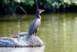 Cormorant on rock