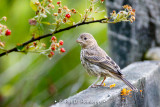 Finch on fence