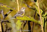 Warbler in field