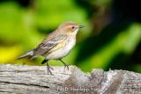 Warbler on fence