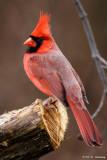 Cardinals, Grosbeaks, Buntings