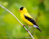 Goldfinch profile