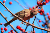 Finch and berries 2