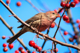 Finch and berries 3