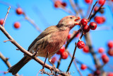 Finch and berries 1