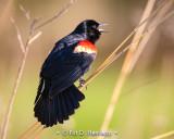 Blackbirds, Orioles