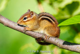 Resting chipmunk