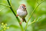Sparrows, Towhees, Juncos
